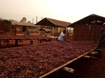 Drying Cocoa beans for market