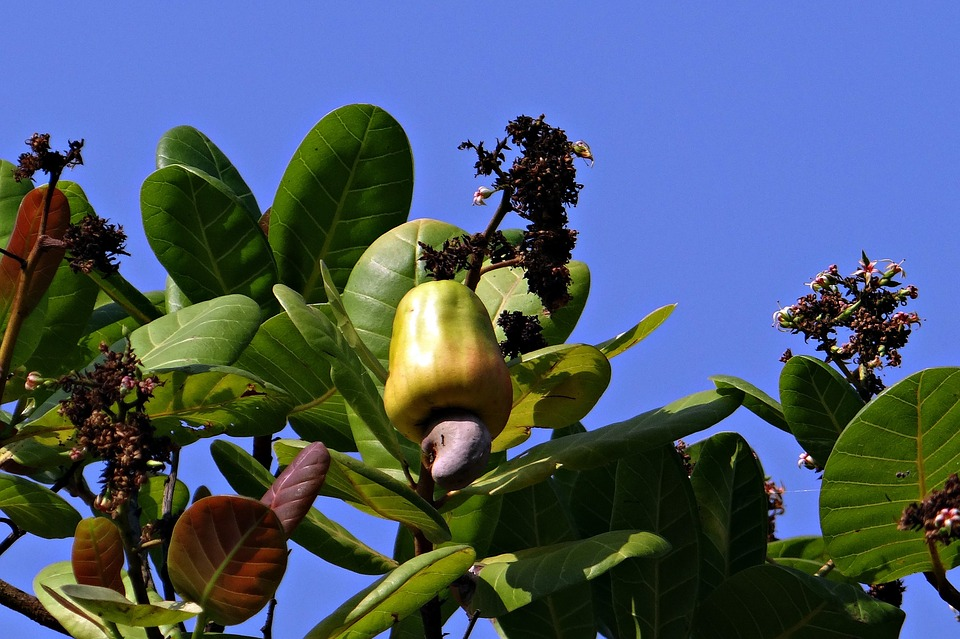 Cashew apple with nut